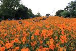 [올림픽공원 / 들꽃마루] 가을, 황화코스모스 예쁜 들꽃마루 # 올림픽공원 # 장미정원 2018