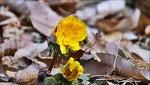 설연화(雪蓮花)-복수초(福壽草) 꽃이 새봄을 알립니다.
