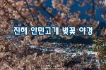 진해 안민고개 벚꽃, 그리고 아름다운 야경