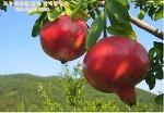 고흥석류 10월부터 판매합니다/ 맛좋고 건강한 진한 석류즙, 석류원액을 먼져 만나보세요