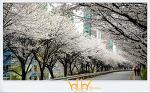 [오늘의 사진] 벚꽃산책