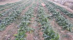 친환경 무농약 무비료 무제초제 알타리무 동치미무 팔아요