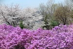 [부천 / 원미산 진달래동산] 분홍색 진달래는 빛났고, 파란색 하늘은 맑았다 # 원미산 진달래축제 2018 (+갤럭시S8 사진 포함)