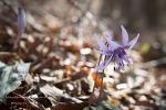 금정산에서 만난 꿩의 바람꽃 그리고 얼레지, 현호색