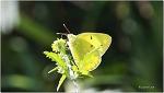 노랑나비 Colias erate