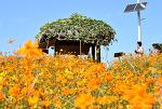 [올림픽공원] 들꽃마루 노랑 코스모스, 풍접초