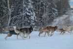 [알래스카 개썰매 체험 투어] Dog Sledding in Fairbanks, Alaska [알래스카 허니문 신혼 여행] [알래스카 패키지 관광]