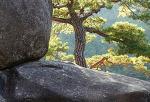 무릉리의 소나무