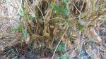 메주콩(백태,노란콩) 수확,꼬투리 말리기,타작,정선작업