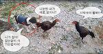 닭싸움 말리는 개 화재 ★엽기유머동물싸움동영상★