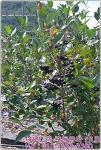 냉동아로니아 판매! 무농약으로 재배한 아로니아를 냉동아로니아로! 순창 아로니아농장으로 주문문의!