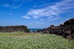 제주돌담과바다 그리고 메밀밭