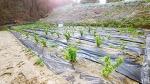 [농사일기] 요즘 과실나무는 우량종을 개발하여 '왕'자를 붙이는 추세/왕보리수, 왕자두, 왕살구 등 과실나무에 '왕'자가 들어가는 추세/1, 5일장, 거창 5일장/죽풍원의 행복찾기프로젝트