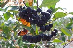 아로니아열매판매합니다 - 무농약으로 키워내서 더욱 믿고 안전하게 먹을수 있는 순창아로니아랍니다