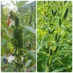 국산 유기농 토종깨와 수지깨