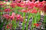 대구 중리체육공원-꽃무릇