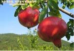 국산석류파는곳~ 고흥석류농장 다정농원으로 1년 365일 언제든 주문이 가능한 석류즙, 석류원액을 만나보세요