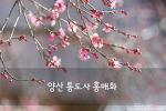양산 통도사 홍매화, 봄 향기 타고 다녀온 향긋한 봄꽃 여행
