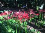 분당 중앙공원 [꽃무릇]축제
