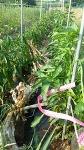 유기농 고추를 살리기 위한 노력. 고라니 퇴치