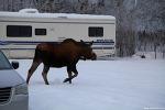 """알래스카"""" 가족이 되어버린 Moose """""""
