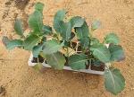브로콜리 재배(파종,수확시기와 모종심기,심는방법,웃거름)
