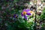 할미꽃과 매발톱