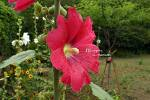 접시꽃_20120624