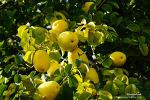 잘생긴 목과(木瓜)열매-최고의 가정 상비약재