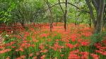 [함양여행] 가을을 대표하는 꽃, 가을에 피는 꽃 종류는 어떤 것이 있을까요?/명품 중의 명품 꽃, 석산이라고도 부르는 꽃무릇/고창 선운사와 함양 상림공원 꽃무릇/함양여행코스/함양 가볼만..