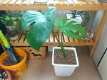 플랜테리어 대표 식물 '몬스테라' 키우기