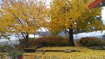 자두집엔 가랑잎이 추풍낙엽이 되어 떨어집니다