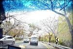 팔공산 드라이브-대한수목원,벚꽃 터널,신숭겸 장군 유적지