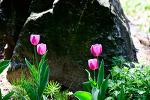 봄의 대표꽃 튤립