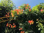 여름꽃 능소화ㅎ