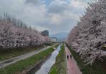 서울 벚꽃명소,양재시민의숲 벚꽃길 산책로와 공영주차장 정보