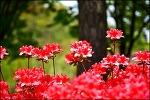 영산홍 꽃길-대구신천하수종말처리장 (대구환경공단 신천사업소)