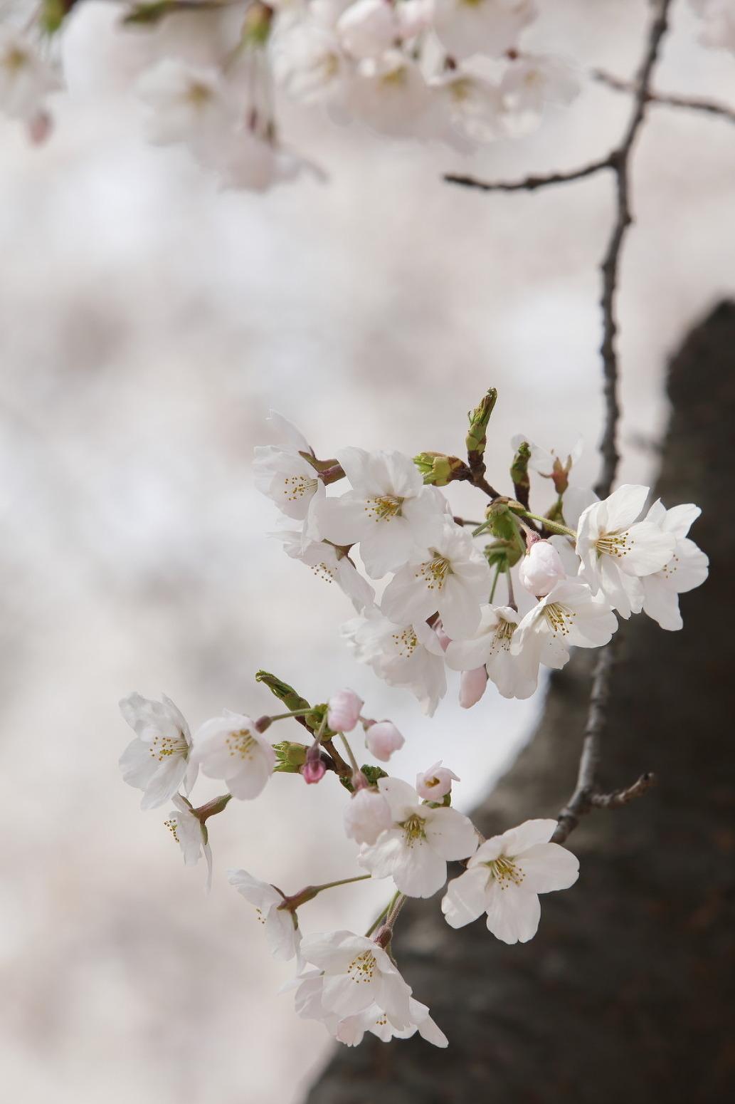 인천대공원 벚꽃나무