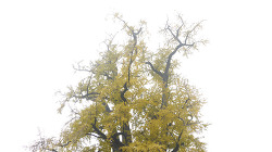 용문사 은행나무