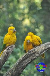 멸종이 될 수 있는 귀여운 새 - Ararajuba
