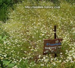 [꽃,식물,허브]캐모마일