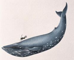 지구상에서 가장 거대한 생명체 : 흰수염 고래