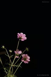 코스모스 at night