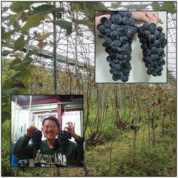 [직농소]실미원 자연재배 포도