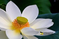 연꽃 - 연꽃사진