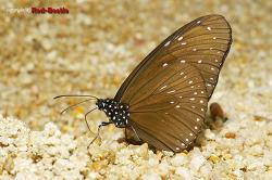 [외국곤충] 태국산 왕나비류