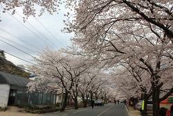 봄봄봄 자전거로 가본 벗꽃 구경^0^        쌍계사 - 하동 - 순천만   (by  lx3 , 550D )