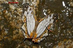 [외국나비] 꿈의 돌담무늬나비