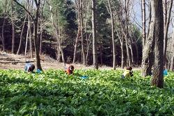 [강원도영월여행] 명이나물, 눈개승마, 산나물 수확체험 - 영월도깨비산채