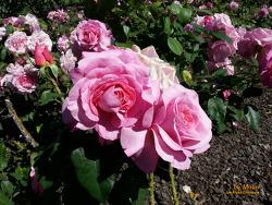 장미의 정원 - 도브 마이어 로빈슨 파크